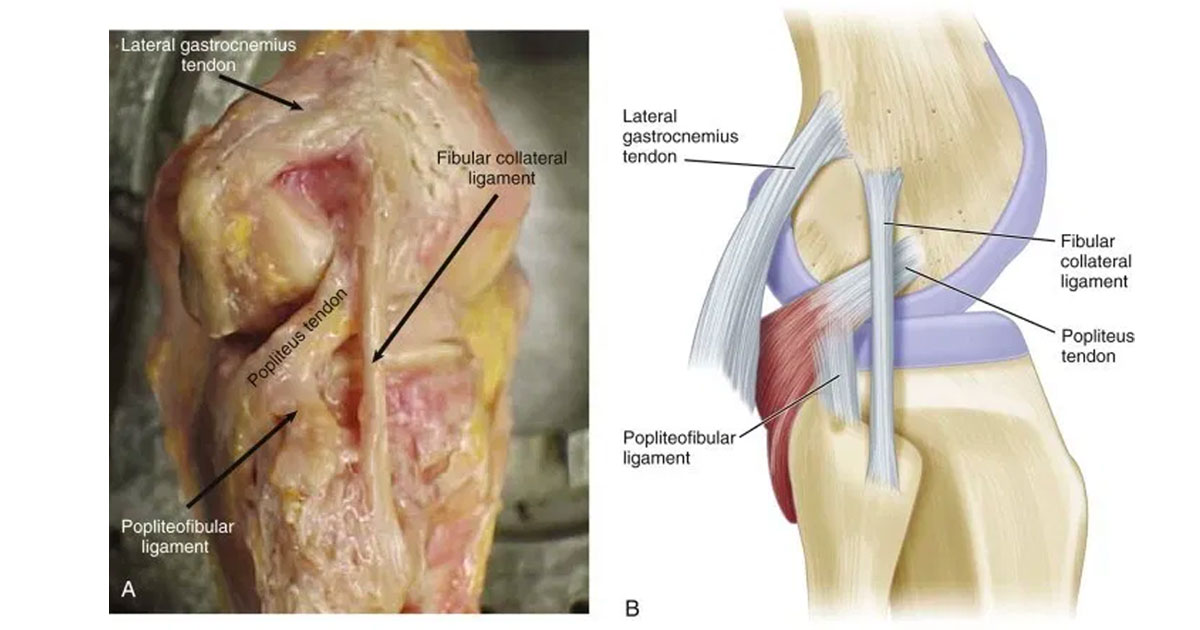 The Posterolateral Corner (PLC) of the knee is an inherently important component in both knee function and stability.